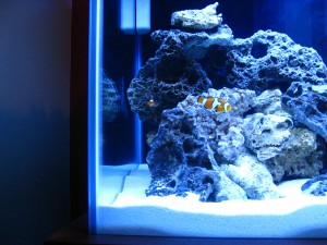 Selecting your saltwater tank's first fish