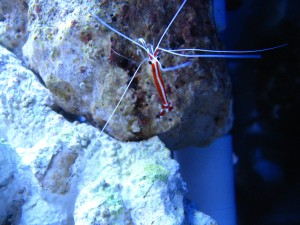 Cleaner Shrimp are Great Addition to Reef Tanks